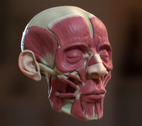 Human Head Ecorche