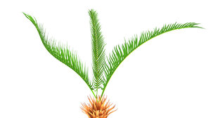 obj cycas roots