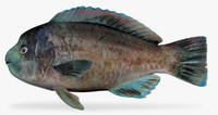 ma bumphead parrotfish scarus perrico