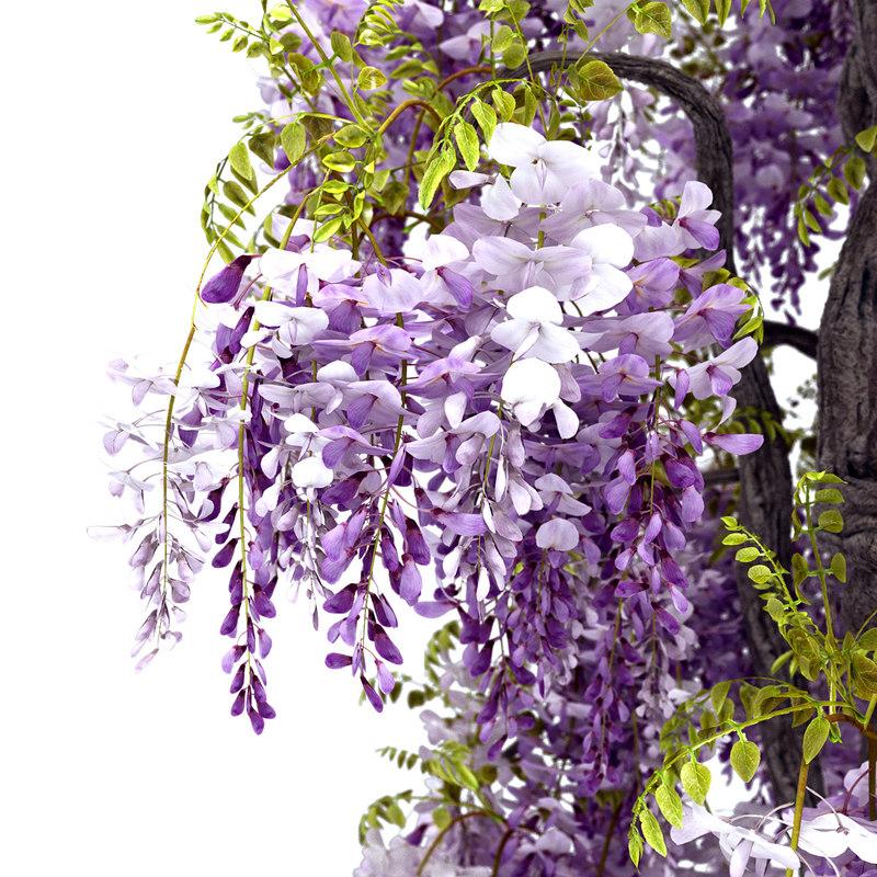 wisteria sinensis flowering 3d model