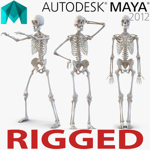 3d human male skeleton rigged