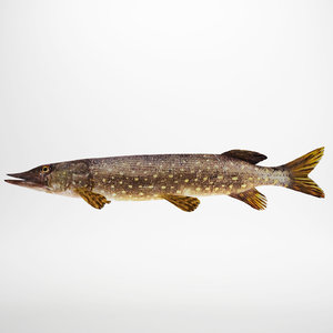3d pike fish