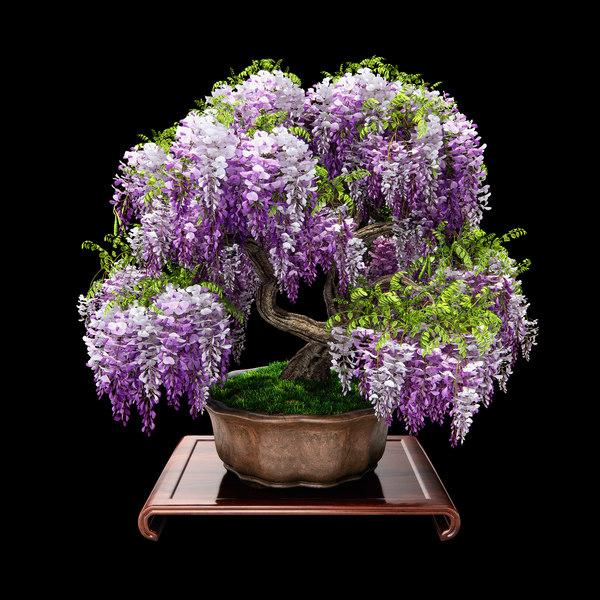 3d Wisteria Bonsai Flowering