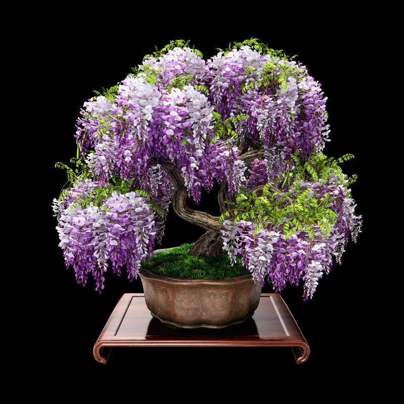 3d wisteria bonsai flowering