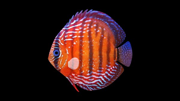 ma red blue discus rigged fish