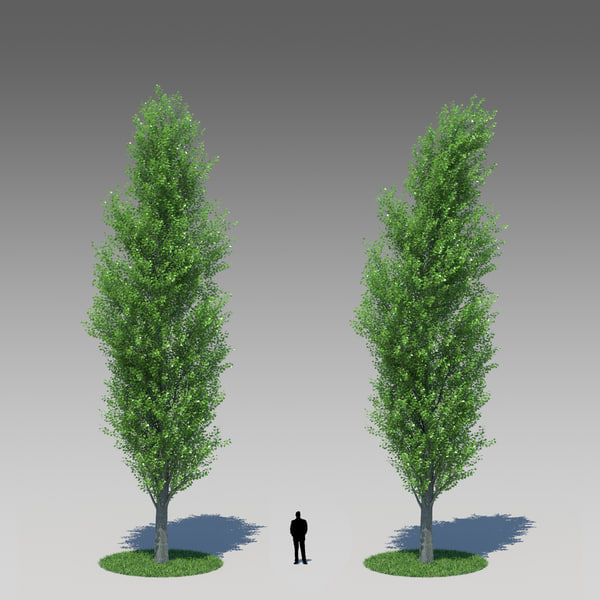 populus nigra poplar tree obj