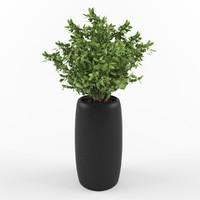 Ficus kinki