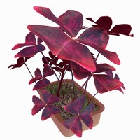 max plant oxalis