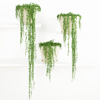 String Of Pearls Plant 2