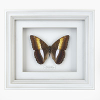 3d butterfly bicolour commodore