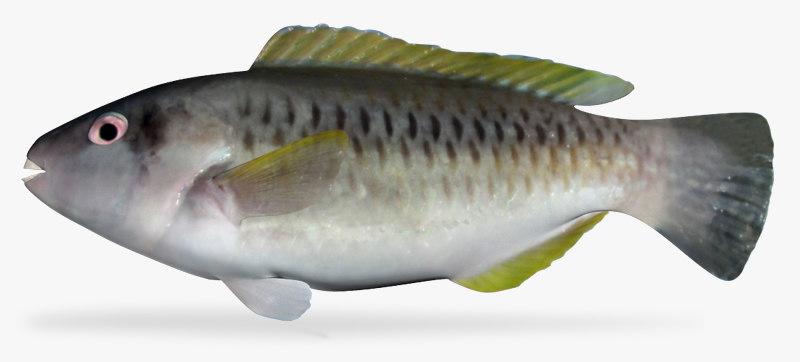 3d princess parrotfish model