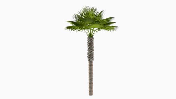 tall desert palm tree 3d obj