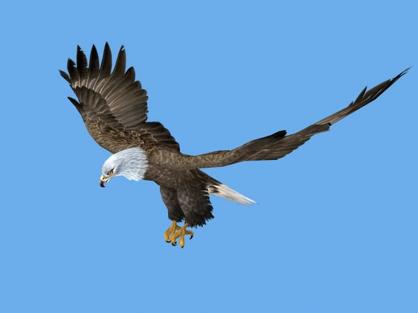 3d rigged flying eagle