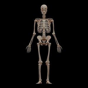 bones anatomy skull skeleton max