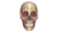 3d human skull anatomy