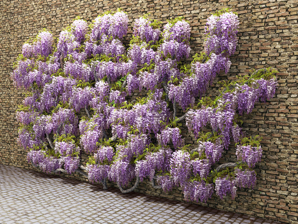 3d wisteria flowering wall model