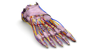 foot bones ligaments nerves obj