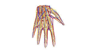 bones nerves palm obj