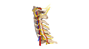 cervical spine ligaments nerves 3d model