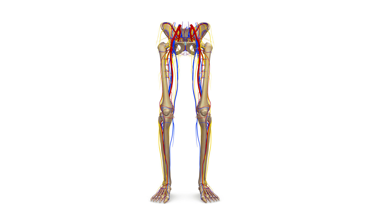lower limbs 3d model