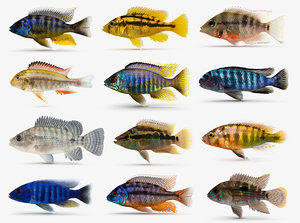 cichlid fish 3d model