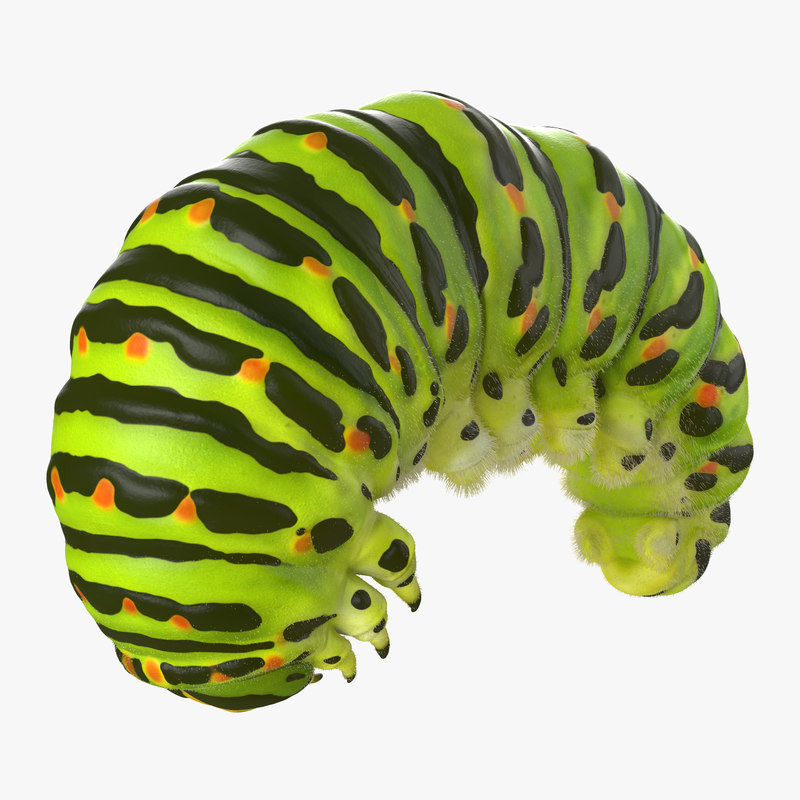 swallowtail caterpillar fur max