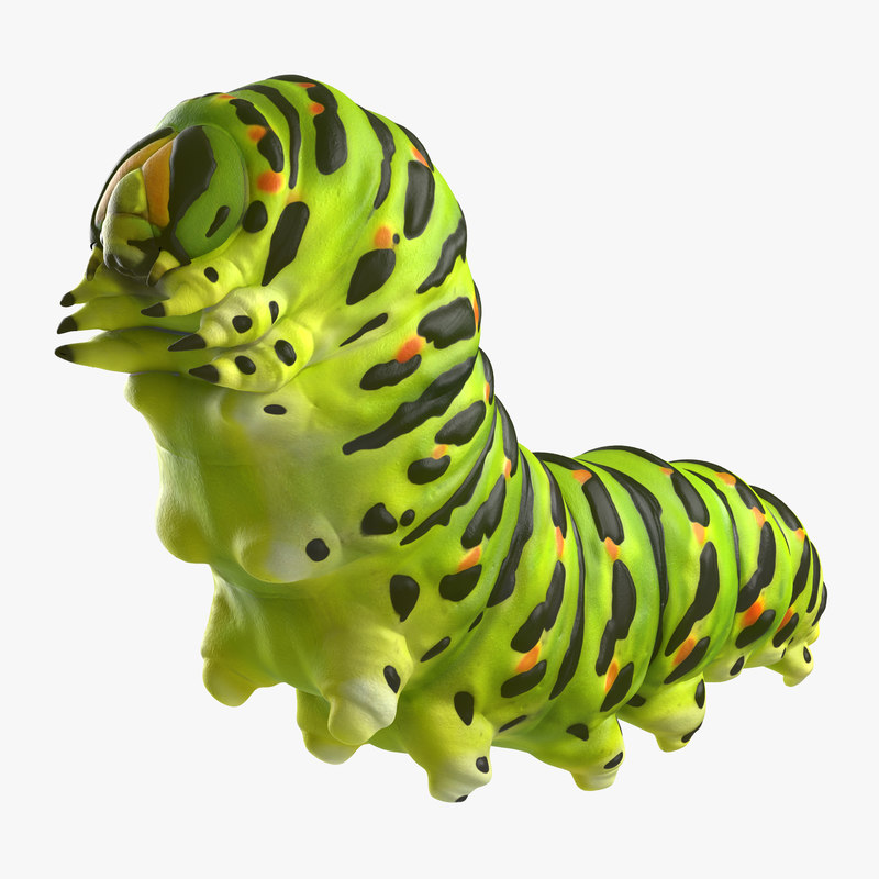 papilio machaon caterpillar reeps max