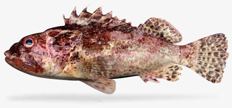 3d california scorpionfish model