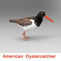 3d american oystercatcher model