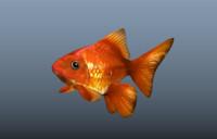 3d gold fish model