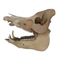 obj wild boar skull