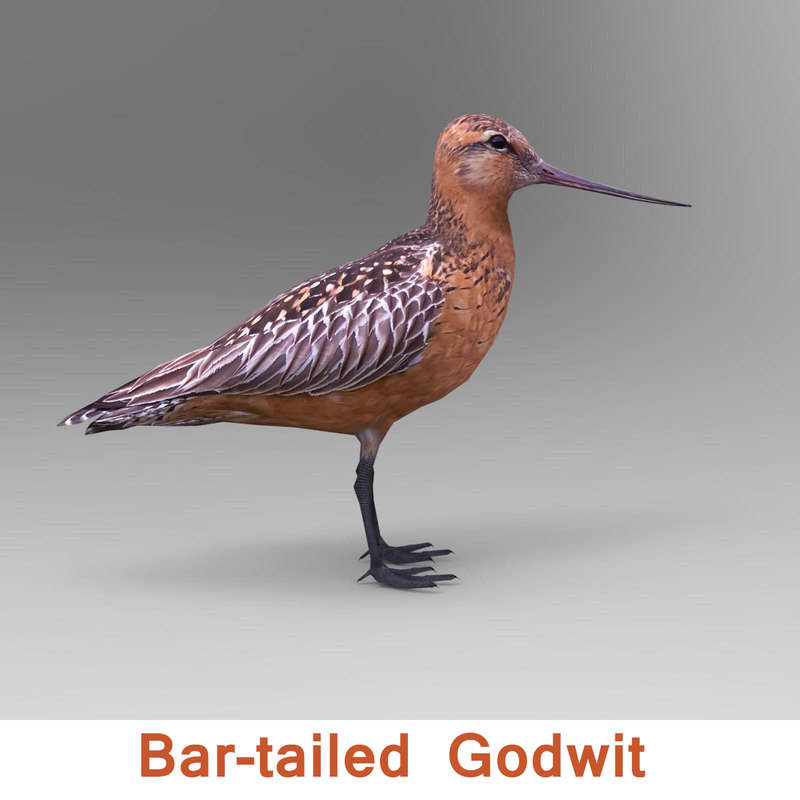 north american godwit 3ds