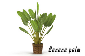 max banana palm pot