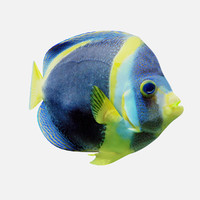 3d model angel fish
