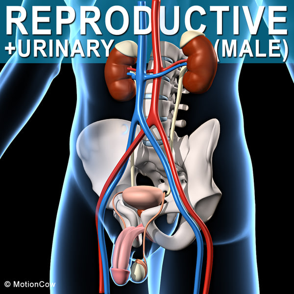 3d model male human reproductive urinary