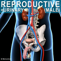 male human reproductive urinary max