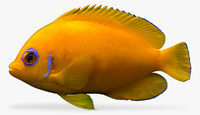 3d model lemonpeel angelfish