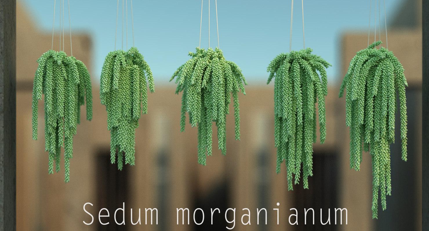3d model sedum morganianum s