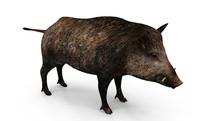 3d wild pig model