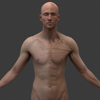 male ecorche 3d model