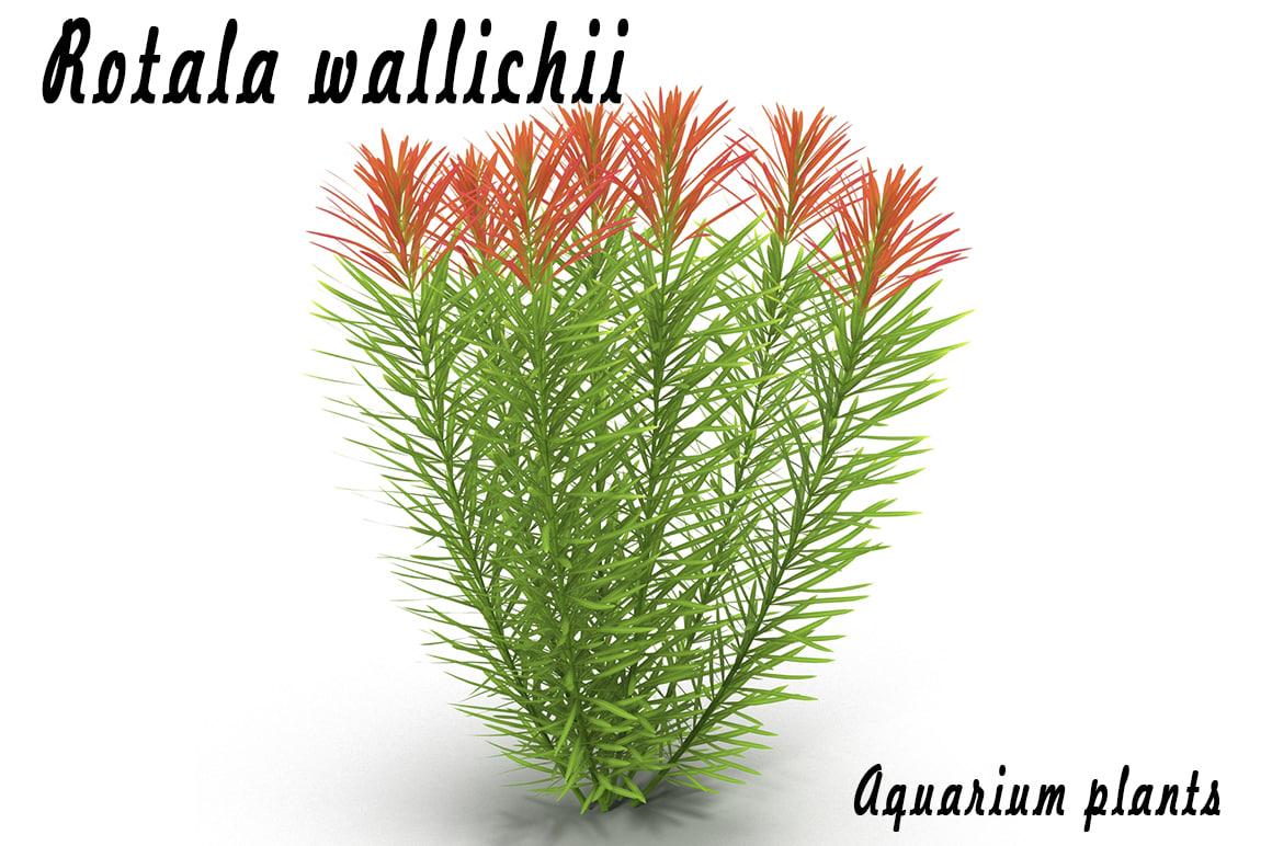 aquarium rotala wallichii max