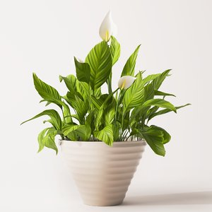 spathiphyllum plant 3d obj