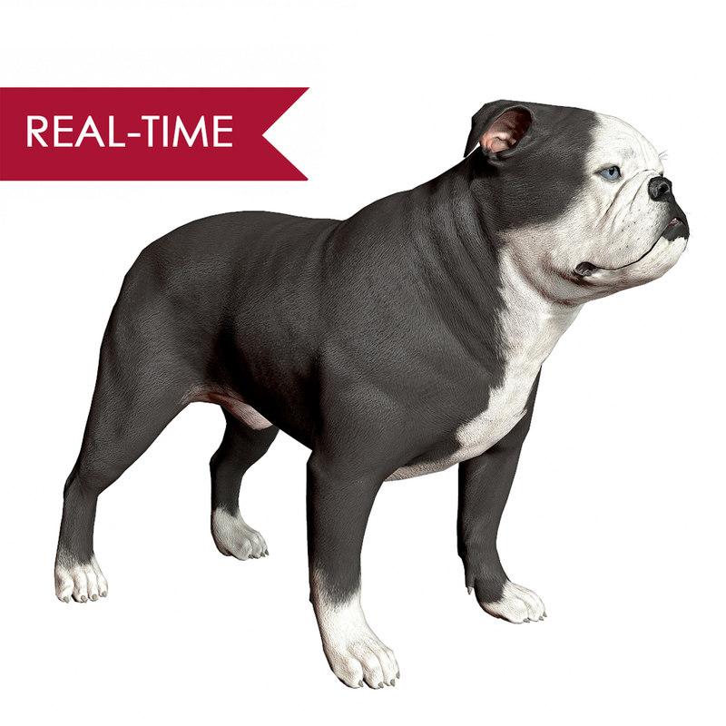 3d realistic english bulldog real-time