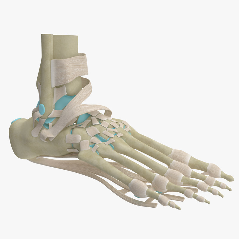 max realistic foot skeleton anatomy