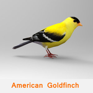 american goldfinch 3d model