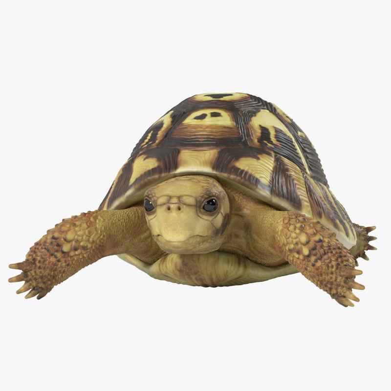 hermann turtle tortoise animation 3d model