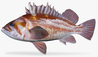 copper rockfish 3d model