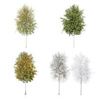 Cutout tree - 4 seasons - Silver Birch (Betula pendula)