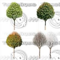 Cutout tree - 4 seasons - Whitebeam (Sorbus aria)