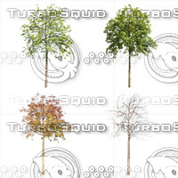 Cutout tree - 4 seasons - Mountain ash (Sorbus aucuparia) (2)
